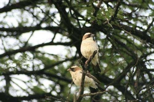 Testosterone regulates solo song of tropical birds
