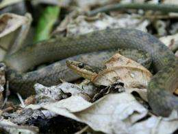 The Saint Lucia racer takes the title of world's rarest snake