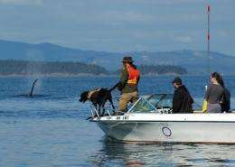 Too few salmon is far worse than too many boats for killer whales