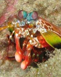 Unique structure of fist-like club of mantis shrimp could tranform body armor materials