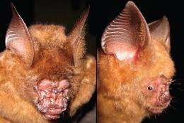 Scientists discover new species of roundleaf bat in Vietnam