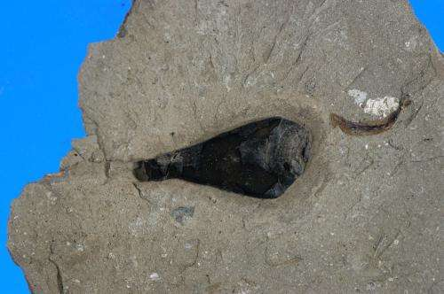 Squid ink from Jurassic period identical to modern squid ink, study shows