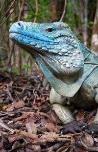 Cayman's imperiled blue iguanas on the rebound