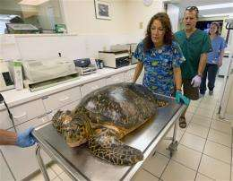 Endangered sea turtle rehabs in Fla. Keys