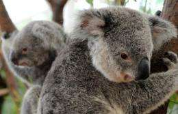 Environmentalists have for years been pushing for greater protections for the koala