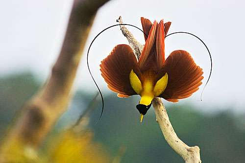 Ribbonlike: Glimpses Of Paradise: Magnificent Birds, Striking Science