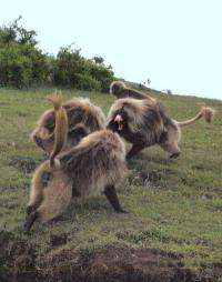 How cooperation can trump competition in monkeys