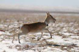 Livestock, not Mongolian gazelles, drive foot-and-mouth disease outbreaks