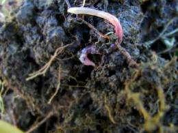 Mediterranean earthworm species found thriving in Ireland as global temperatures rise