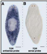 Scientists find protein critical for tissue regeneration