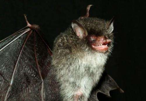 This handout picture from WWF shows one of three new Murina bat species discovered in central Vietnam