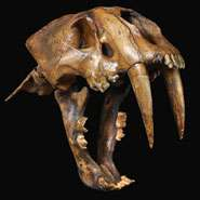 Skulls shed new light on the evolution of the cat