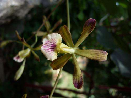 2 new species of orchid found in Cuba