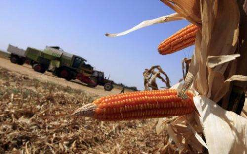 Genetically modified corn cobs are seen at a corn field
