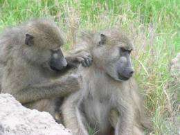 Penn researchers connect baboon personalities to social success and health benefits
