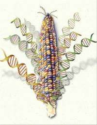 Scientists complete most comprehensive genetic analysis yet of corn