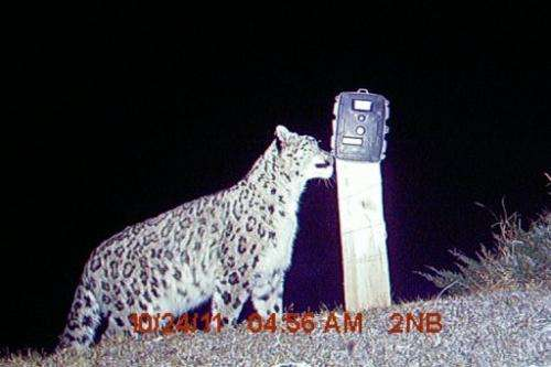 This handout photograph taken by a remote camera trap shows a rare snow leopard in Nepal
