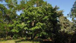 12 new flavonoids discovered in Kew tree
