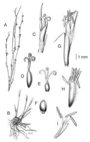 A new species of wirerush from the wetlands in northern New Zealand