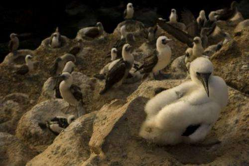 File photo shows a young Peruvian Booby on Macabi island in Peru
