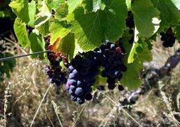 Researchers in Australia say they have pinpointed key factors in the early ripening of grapes