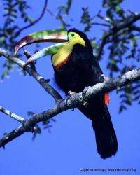 Climate change threatens tropical birds