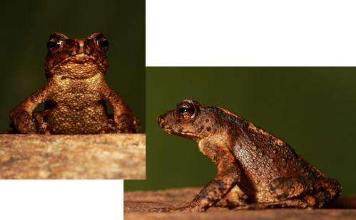 Researchers rediscover toad thought to be extinct