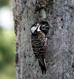 Researcher's work helps woodpecker recovery