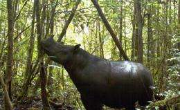 7 rare rhinos photographed in western Indonesia