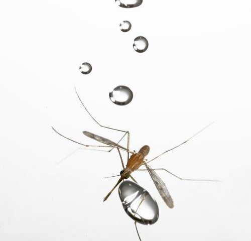How mosquitoes fly in rain? Thanks to low mass