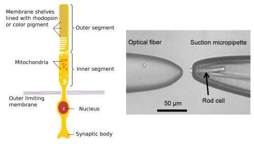Researchers find retinal rods able to detect photon number distribution