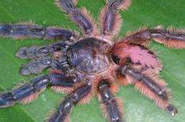 9 colorful and endangered tree-dwelling tarantulas discovered in Brazil