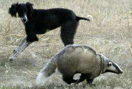 A badger is chased by a dog in Kazakhstan