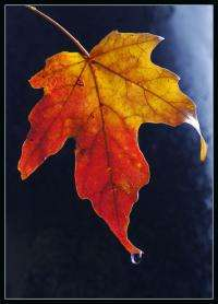 Acid rain poses a previously unrecognized threat to Great Lakes sugar maples