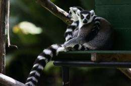 A couple of lemurs rest in the shade of a public park in Antananarivo, Madagascar, in 2006