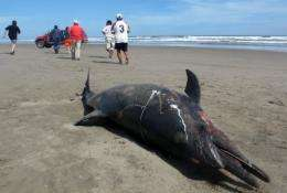 A dead dolphin lying on a beach on the northern coast of Peru in March 2012