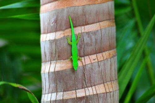 A green Gecko walks on a palm at Vallee de Mai nature reserve on Praslin island in the Seychelles