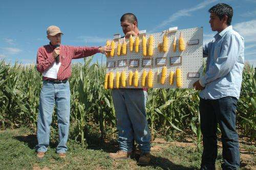 AgriLife Extension expert: Spider mite damage to corn affected by irrigation level