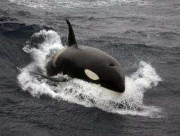 A killer whale swims in 2007