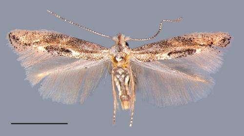 American Oak Skeletonizer moth invades Europe