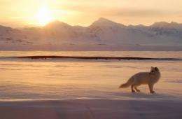An Arctic fox hunts in  Svalbard close to Ny-Aalesund, Norway, in 2009