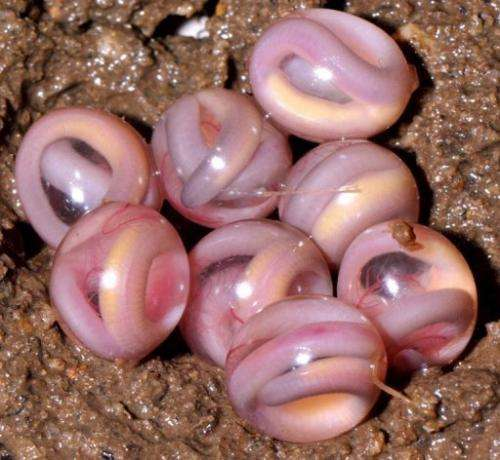 An egg clutch of Chikilidae, the 10th family from the caecilian group of amphibians