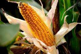 "A new enzyme, called Novozymes Avantec, can ""squeeze an extra 2.5 percent of ethanol out of the corn"""