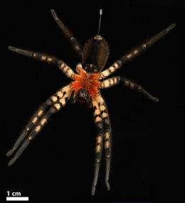 An incisive design solution: the spider's venomous fang