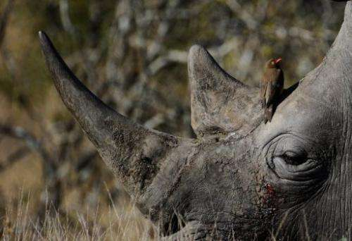 An oxpecker sitting on the head of a white rhinoceros in South Africa's Kruger National Park in June 2010