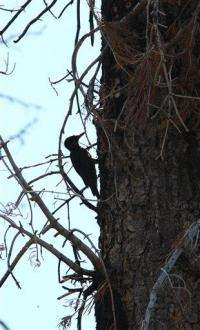 APNewsBreak: Protection sought for rare woodpecker (AP)