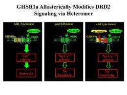 Appetite accomplice: Ghrelin receptor alters dopamine signaling