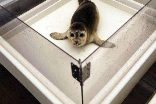 A rescued seal recovers at the Pieterburen Seal Rehabilitation and Research Centre