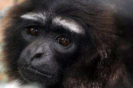 Around 100,000 gibbons currently remain in the forests of Borneo