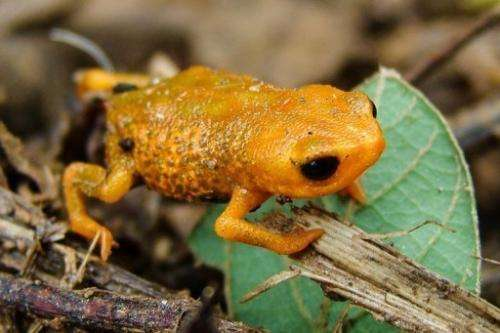 A species of frog that has only three fingers, first discovered in 2007 in Brazil